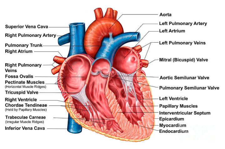 anatomy & physiology of the heart: overview – medhero, Human body